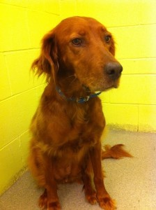 Meet Savannah.  Savannah is an Irish Setter mix and approximately 1 year-old.  She loves the outdoors.  Savannah is spayed, microchipped, and current on vaccinations.  You can meet Savannah Monday through Saturday at the Palmetto Animal League Adoption Center in Riverwalk Business Park.  For more information please call (843)645-1725 or visit our website at www.palmettoanimalleague.org.