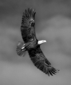 Bald Eagle by Eric Horan