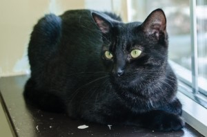 Manning is a very cute and curious 2-year-old boy. He loves cozy beds, does great with other cats, and is a pleasure to hang out with. Come adopt Manning during our Back-in-Black event until the end of November and have the adoption fee waived, receive a free health check when vaccines are due next to re-vacc, trim his nails, and more at no cost to you!  Manning is neutered, current on vaccines, and microchipped. For more information on Manning, call 843-645-1725 or email info@palmettoanimalleague.org.