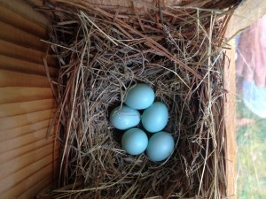 The unmistakable blue eggs in their nest.