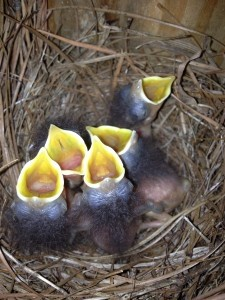 Bruce and Jan Szelewa took pictures of Eastern Bluebirds at their house on Lady's Island. Here, the baby birds are seen with their mouths open.