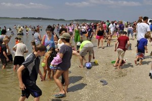 A huge crowd showed up to search for shark teeth.