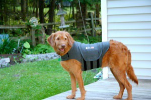 The original Thundershirt™ can be purchased at many fine stores like PetSmart and Petco. Photo courtesy of Kate Ter Haar.