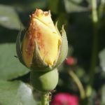 Aphids on a rose