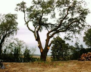 The recently-pruned live oak stands tall after surrounding scrub trees were removed to improve the oak's health.