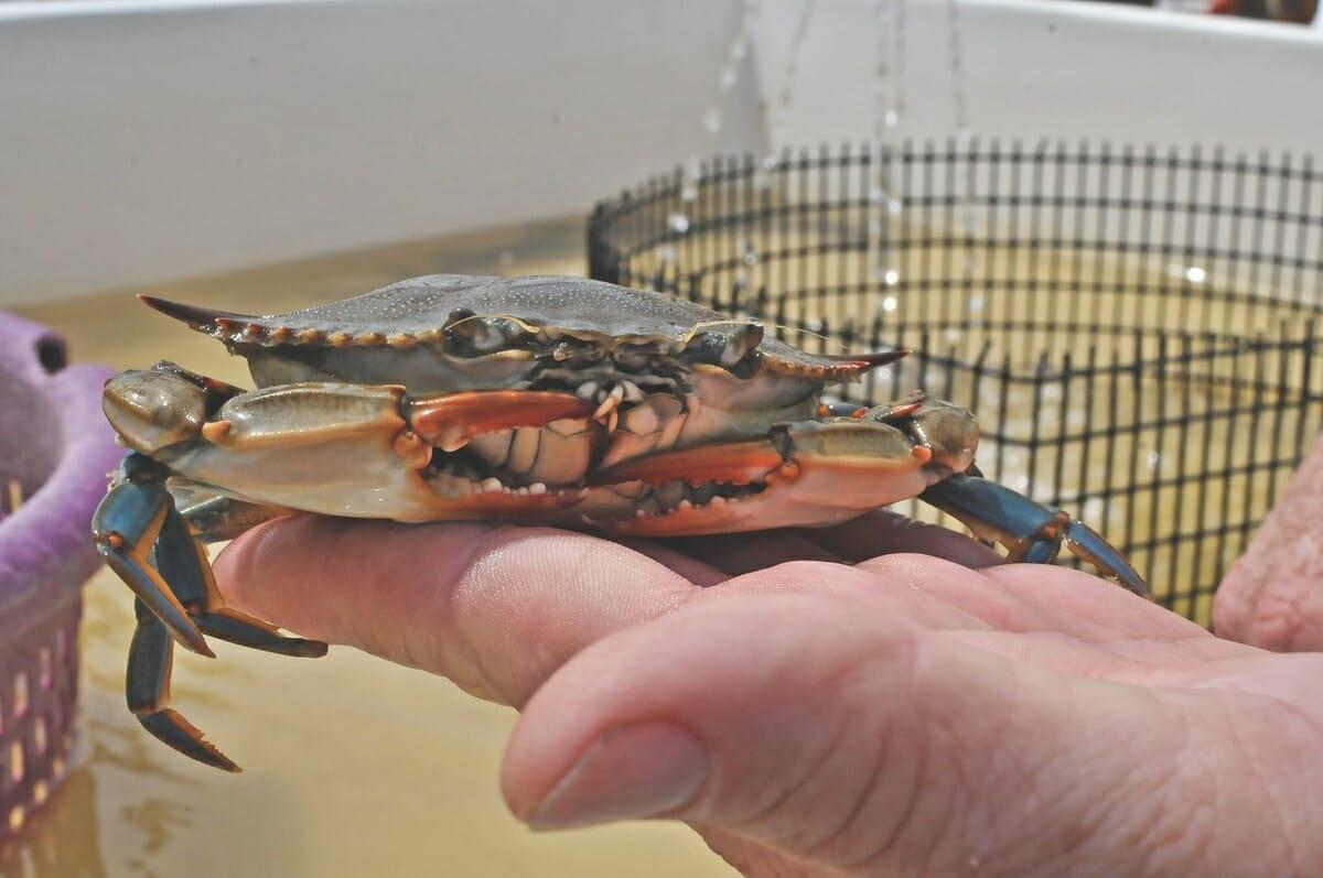 Sea Eagle Soft Shell Crabs-6_cmyk