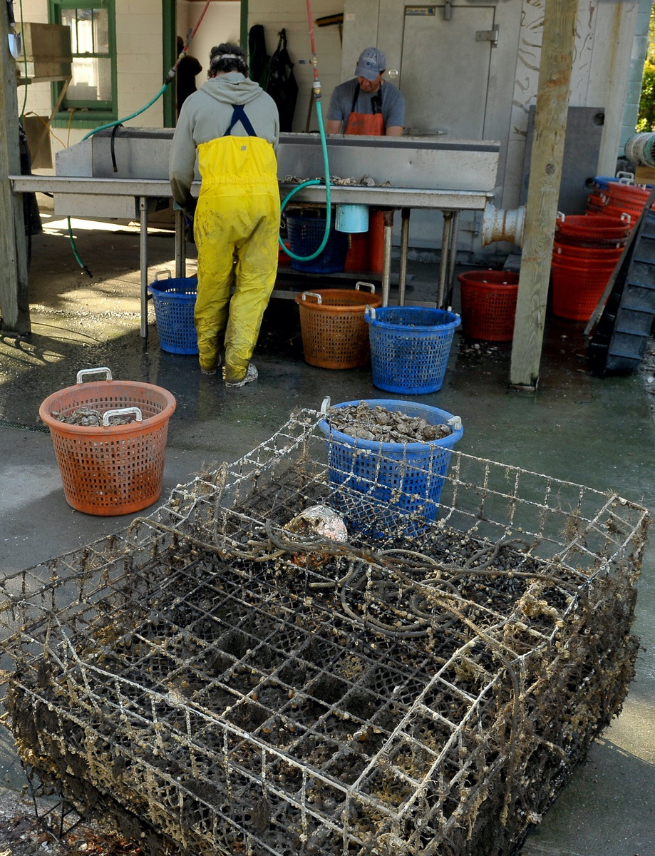 Single oysters are harvested from sacks within the floating cages seen in the foreground. It's backbreaking work for oystermen, who trudge through knee-deep pluff mud to harvest mud-caked clusters.