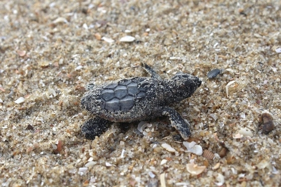 A baby turtle makes its way into the Atlantic Ocean.